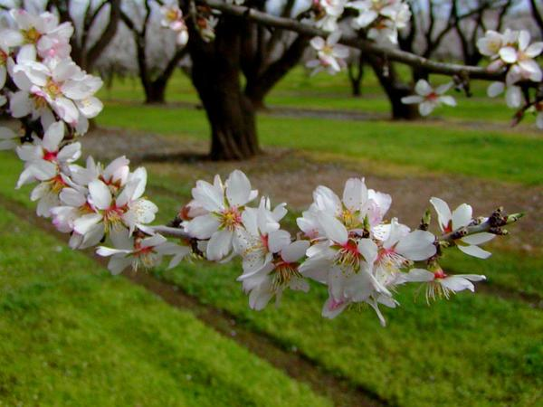 Plum (Prunus) https://www.sagebud.com/plum-prunus