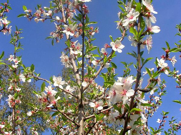 Plum (Prunus) https://www.sagebud.com/plum-prunus