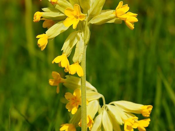 Cowslip Primrose (Primula Veris) https://www.sagebud.com/cowslip-primrose-primula-veris/