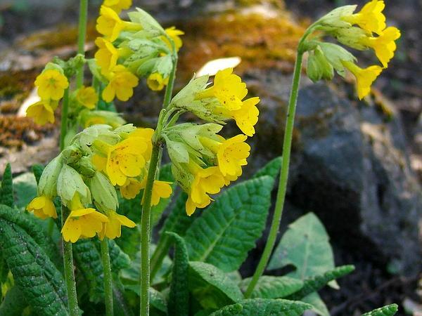 Cowslip Primrose (Primula Veris) https://www.sagebud.com/cowslip-primrose-primula-veris