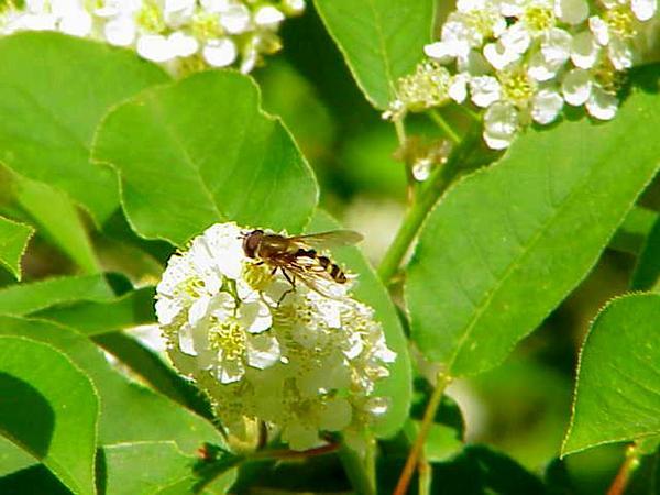 Chokecherry (Prunus Virginiana) https://www.sagebud.com/chokecherry-prunus-virginiana