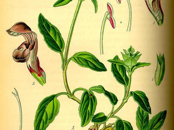 Common Selfheal (Prunella Vulgaris) https://www.sagebud.com/common-selfheal-prunella-vulgaris