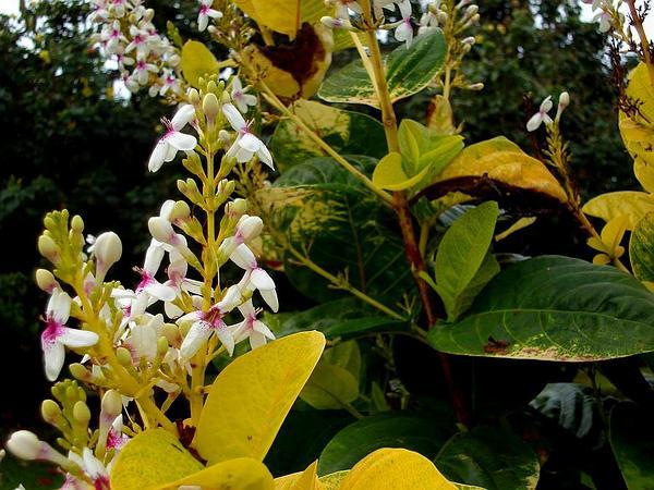 Carruthers' Falseface (Pseuderanthemum Carruthersii) https://www.sagebud.com/carruthers-falseface-pseuderanthemum-carruthersii/