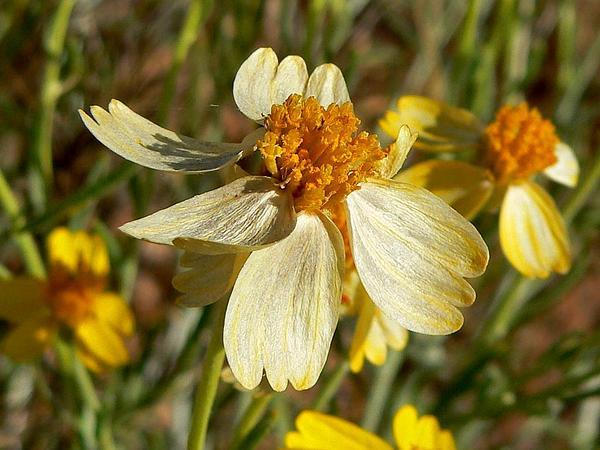 Whitestem Paperflower (Psilostrophe Cooperi) https://www.sagebud.com/whitestem-paperflower-psilostrophe-cooperi