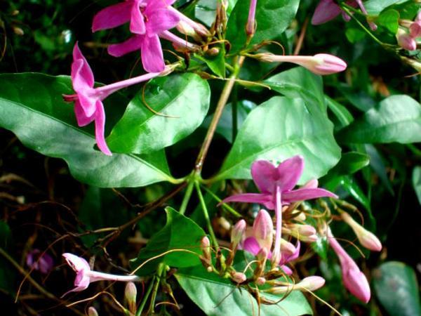 Pseuderanthemum (Pseuderanthemum) https://www.sagebud.com/pseuderanthemum-pseuderanthemum