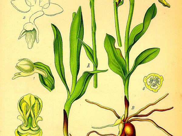 Bog Orchid (Pseudorchis) https://www.sagebud.com/bog-orchid-pseudorchis