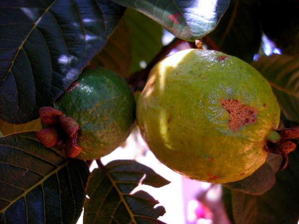 Guava (Psidium Guajava) https://www.sagebud.com/guava-psidium-guajava