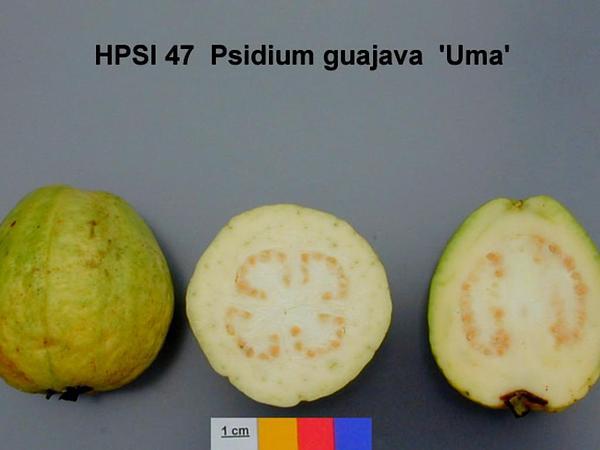 Guava (Psidium) https://www.sagebud.com/guava-psidium