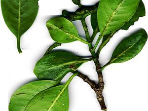 Forest Wild Coffee