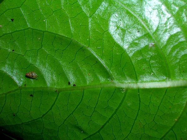 Forest Wild Coffee (Psychotria Mariniana) https://www.sagebud.com/forest-wild-coffee-psychotria-mariniana