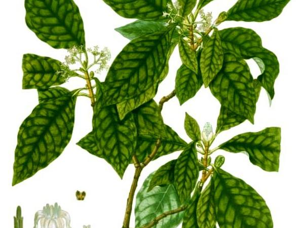 Seminole Balsamo (Psychotria Nervosa) https://www.sagebud.com/seminole-balsamo-psychotria-nervosa/