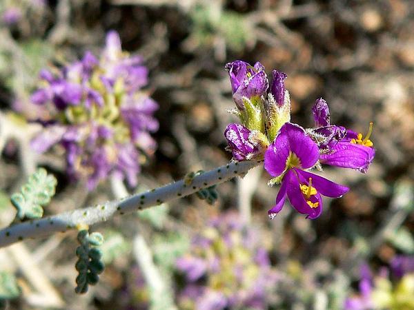 Nevada Dalea (Psorothamnus Polydenius) https://www.sagebud.com/nevada-dalea-psorothamnus-polydenius/