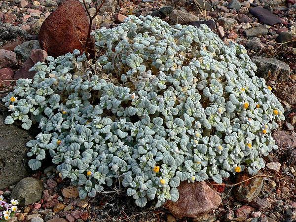 Velvet Turtleback (Psathyrotes Ramosissima) https://www.sagebud.com/velvet-turtleback-psathyrotes-ramosissima