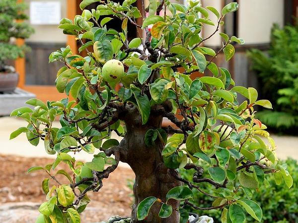 Chinese-Quince (Pseudocydonia Sinensis) https://www.sagebud.com/chinese-quince-pseudocydonia-sinensis