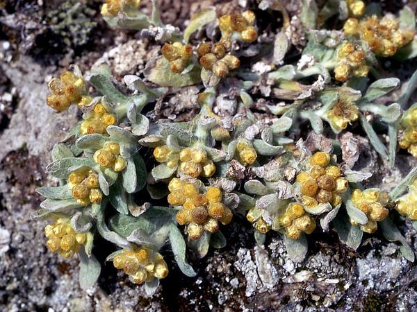 Cottonbatting Plant (Pseudognaphalium Stramineum) https://www.sagebud.com/cottonbatting-plant-pseudognaphalium-stramineum