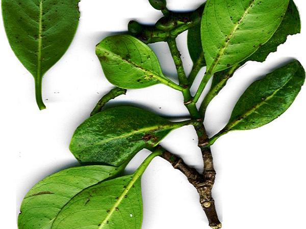Wild Coffee (Psychotria) https://www.sagebud.com/wild-coffee-psychotria/