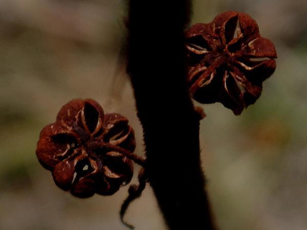 Woodland Pinedrops (Pterospora Andromedea) https://www.sagebud.com/woodland-pinedrops-pterospora-andromedea