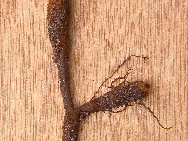 Western Brackenfern (Pteridium Aquilinum) https://www.sagebud.com/western-brackenfern-pteridium-aquilinum