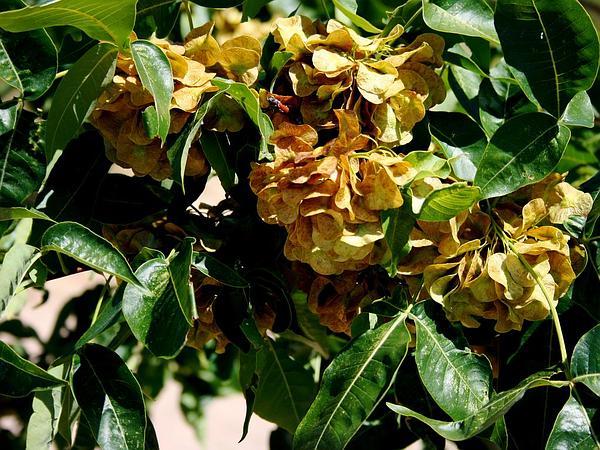 Hoptree (Ptelea) https://www.sagebud.com/hoptree-ptelea