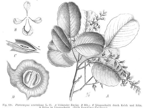 Pterocarpus (Pterocarpus) https://www.sagebud.com/pterocarpus-pterocarpus/