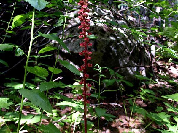 Pinedrops (Pterospora) https://www.sagebud.com/pinedrops-pterospora/
