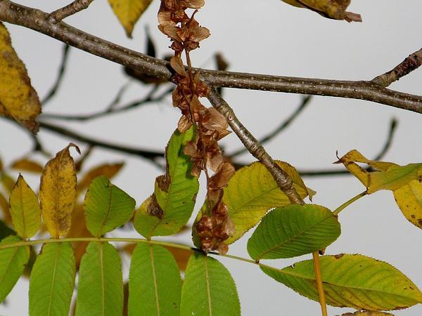 Pterocarya (Pterocarya) https://www.sagebud.com/pterocarya-pterocarya