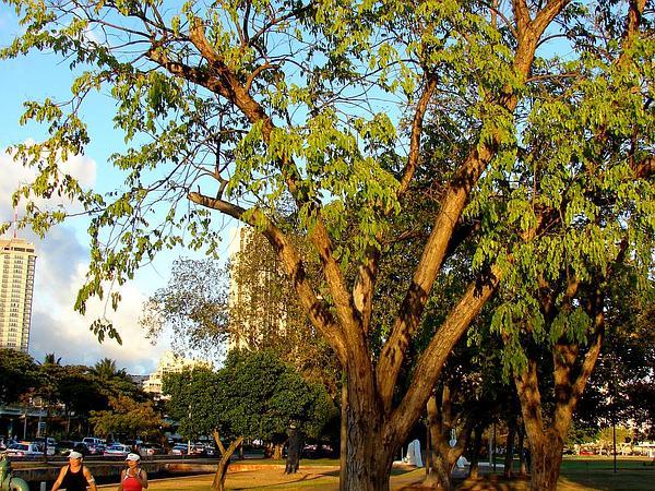 Pterocarpus (Pterocarpus Indicus) https://www.sagebud.com/pterocarpus-pterocarpus-indicus