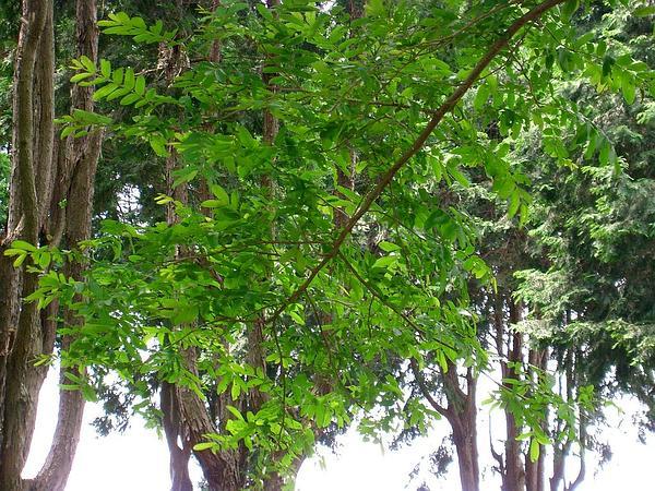 Chinese Wingnut (Pterocarya Stenoptera) https://www.sagebud.com/chinese-wingnut-pterocarya-stenoptera