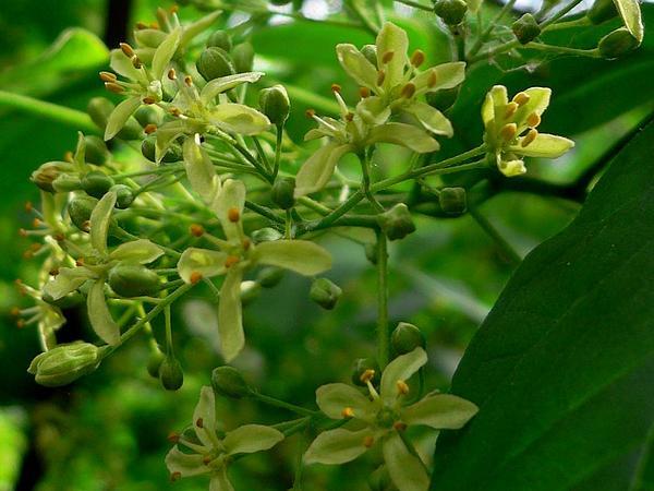 Common Hoptree (Ptelea Trifoliata) https://www.sagebud.com/common-hoptree-ptelea-trifoliata