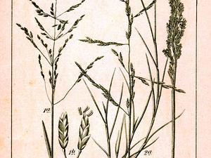 Alkaligrass