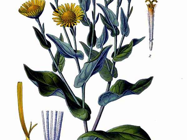 Meadow False Fleabane (Pulicaria Dysenterica) https://www.sagebud.com/meadow-false-fleabane-pulicaria-dysenterica/