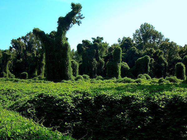 Kudzu (Pueraria) https://www.sagebud.com/kudzu-pueraria