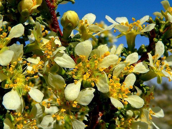 Desert Bitterbrush (Purshia Glandulosa) https://www.sagebud.com/desert-bitterbrush-purshia-glandulosa
