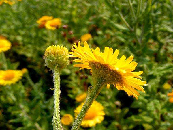 False Fleabane (Pulicaria) https://www.sagebud.com/false-fleabane-pulicaria