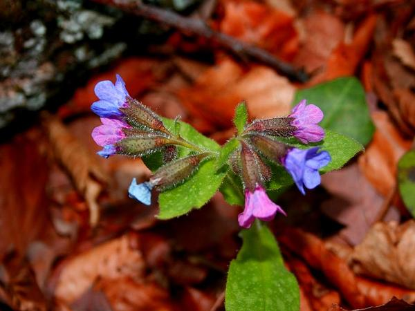 Common Lungwort (Pulmonaria Officinalis) https://www.sagebud.com/common-lungwort-pulmonaria-officinalis