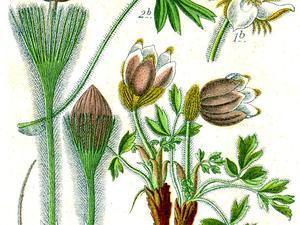 Eastern Pasqueflower