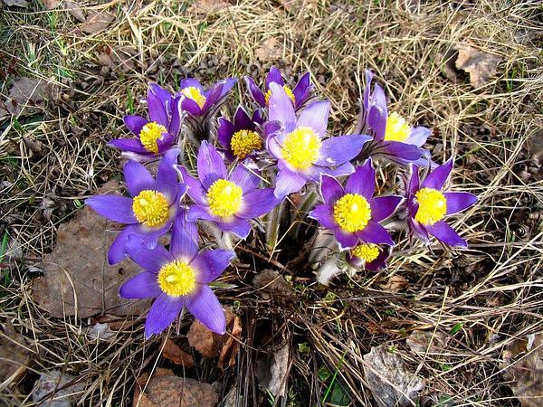 Eastern Pasqueflower (Pulsatilla Patens) https://www.sagebud.com/eastern-pasqueflower-pulsatilla-patens