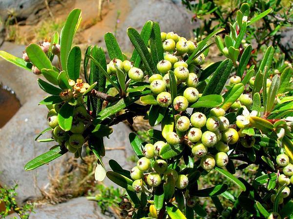 Narrowleaf Firethorn (Pyracantha Angustifolia) https://www.sagebud.com/narrowleaf-firethorn-pyracantha-angustifolia