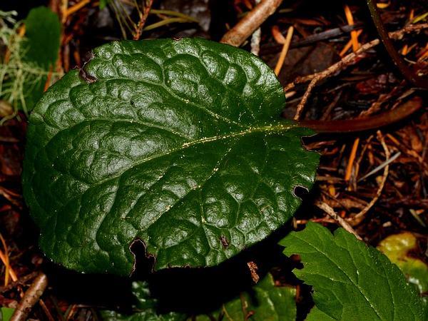 Liverleaf Wintergreen (Pyrola Asarifolia) https://www.sagebud.com/liverleaf-wintergreen-pyrola-asarifolia/