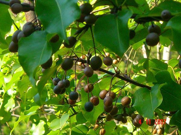 Callery Pear (Pyrus Calleryana) https://www.sagebud.com/callery-pear-pyrus-calleryana