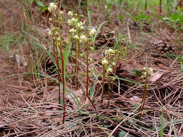 Greenflowered Wintergreen (Pyrola Chlorantha) https://www.sagebud.com/greenflowered-wintergreen-pyrola-chlorantha