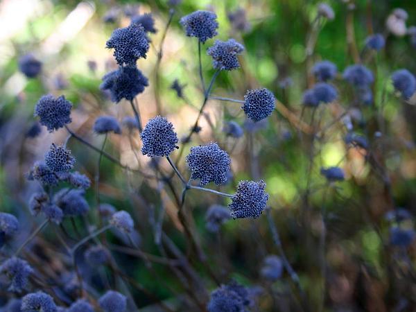 Mountainmint (Pycnanthemum) https://www.sagebud.com/mountainmint-pycnanthemum