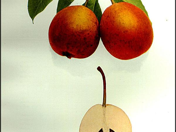 Common Pear (Pyrus Communis) https://www.sagebud.com/common-pear-pyrus-communis