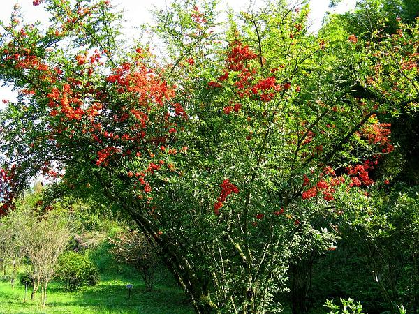 Scarlet Firethorn (Pyracantha Coccinea) https://www.sagebud.com/scarlet-firethorn-pyracantha-coccinea