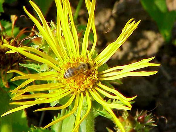 Curlyhead Goldenweed (Pyrrocoma Crocea) https://www.sagebud.com/curlyhead-goldenweed-pyrrocoma-crocea