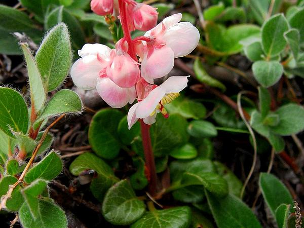 Largeflowered Wintergreen (Pyrola Grandiflora) https://www.sagebud.com/largeflowered-wintergreen-pyrola-grandiflora