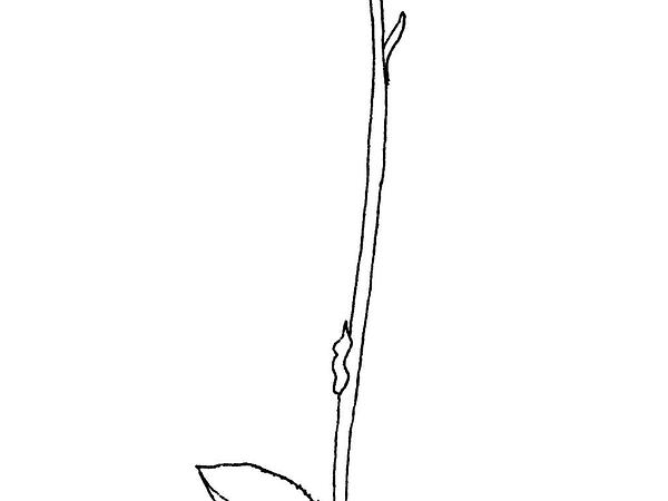 Snowline Wintergreen (Pyrola Minor) https://www.sagebud.com/snowline-wintergreen-pyrola-minor