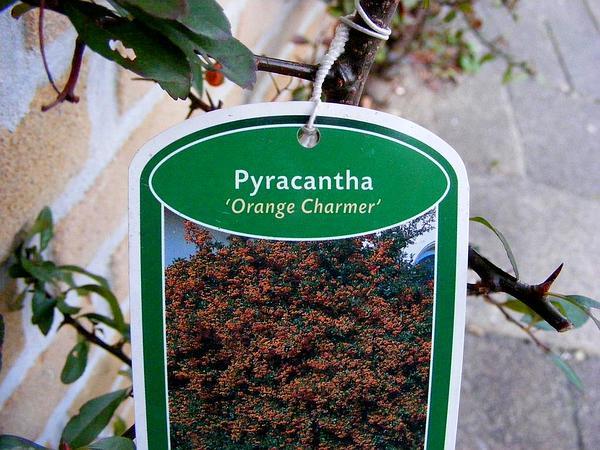 Firethorn (Pyracantha) https://www.sagebud.com/firethorn-pyracantha