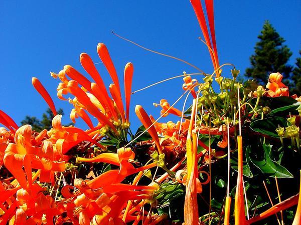 Flamevine (Pyrostegia Venusta) https://www.sagebud.com/flamevine-pyrostegia-venusta