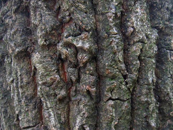 Sawtooth Oak (Quercus Acutissima) https://www.sagebud.com/sawtooth-oak-quercus-acutissima